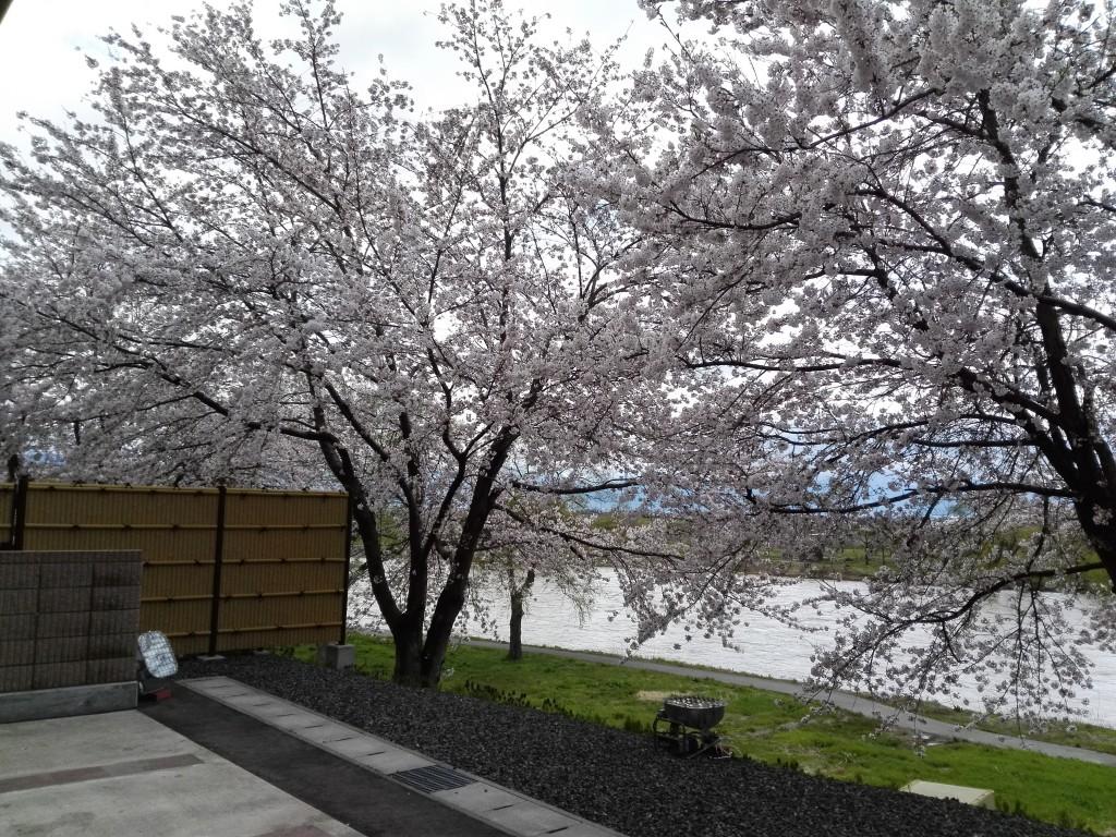 【4月20日 桜が満開!最上川を背に】②