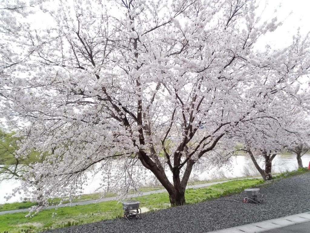 【4月20日桜が満開!最上川を背に】②